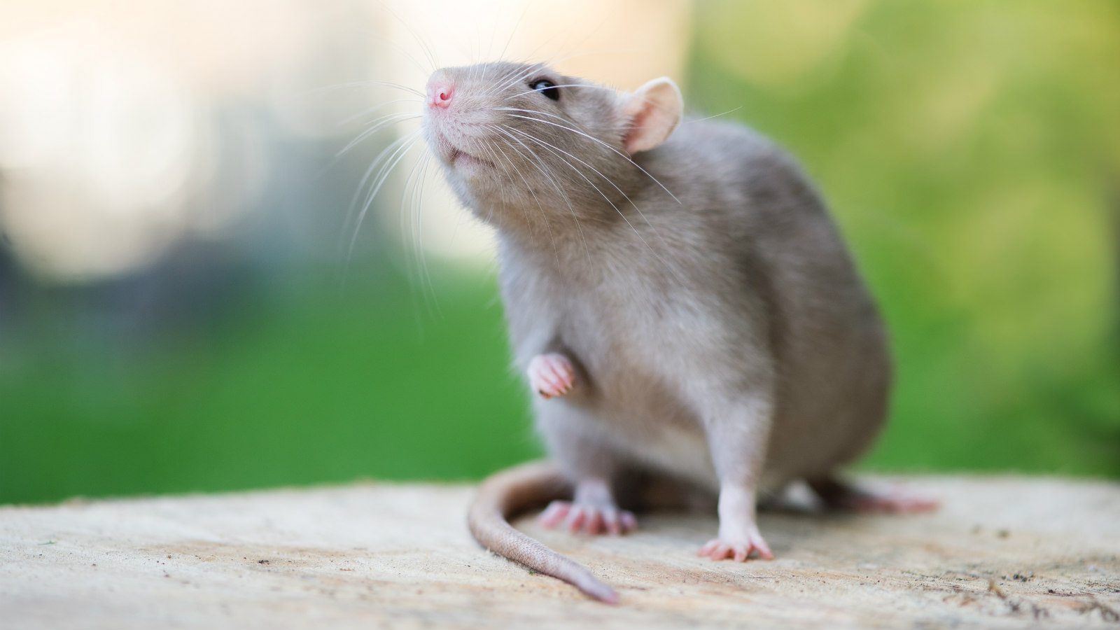 Why Do My Rats Smell Bad?