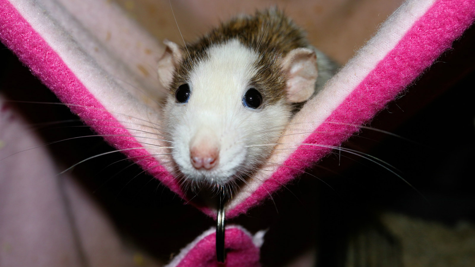 What Do I Feed My Rat?
