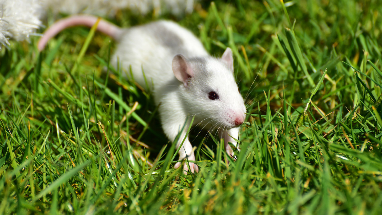 How to find a good rat breeder