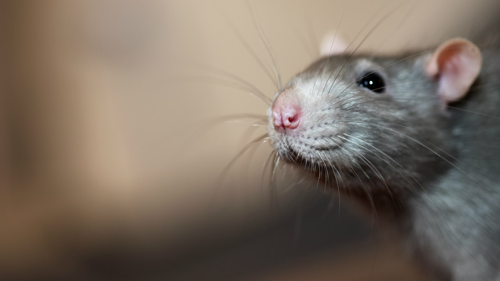 Signs of Illness in Rats