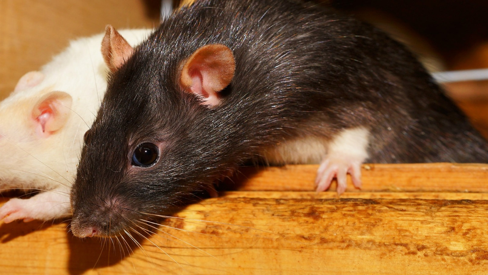 Can I Keep Rats and other pets